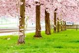 Sakura tree flowers