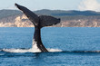Humpback whale tail in Hervey Bay, Queensland, Australia