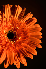 pretty flower on an orange background, close-up © volodyar