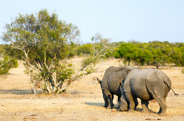White rhinos in safari park