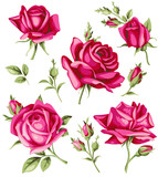 Vector set of decorative pink roses and buds.  Vintage flowers
