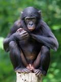 Bonobo - 119051760