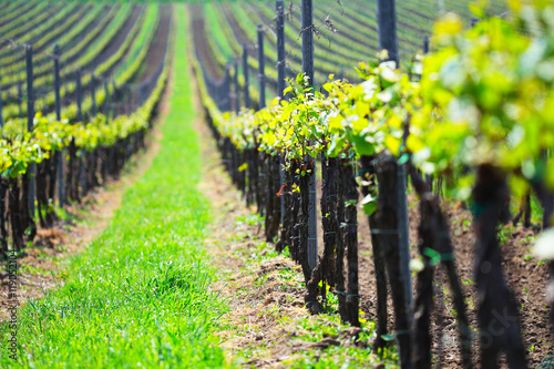 Foto op Canvas Lime groen Summer vineyard landscape, selective focus