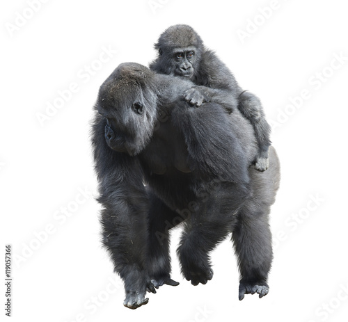 Poster Gorilla Female with Her Baby