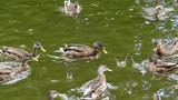 Feeding the Ducks in the Lake. Ducks Waiting For Food and Then Raid It. Slow Motion.