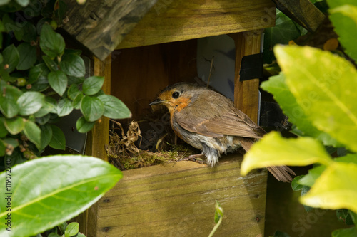 Poster Robin Nest with Young