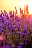 Blooming lavender in a field at sunset in Provence, France - 119082703