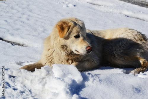 Poster White Dog