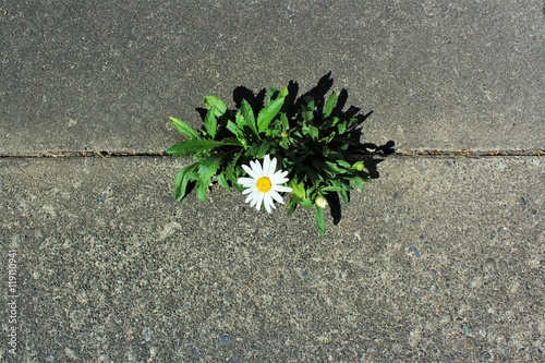 Poster Beautiful and tough daisy grows in a crack in the pavement