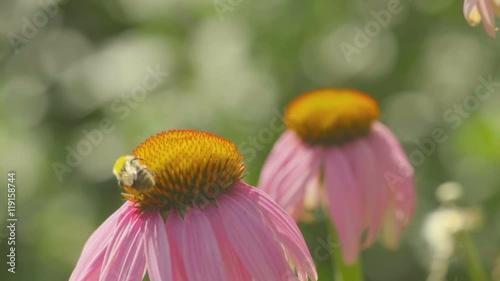 Zdjęcia na płótnie, fototapety, obrazy : Bumblebee on a Echinacea flower