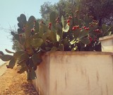 ficodindia cactus puglia