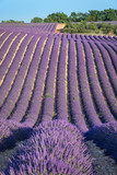 Fototapety Lavender field at sunset in Provence