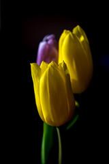 Yellow and pink tulips © Pavel Cheiko