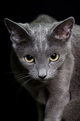 Portrait of nice cat - cat russian blue © lenkadan