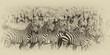 Zebra Herd, Photo Manipulated