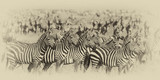 Zebra Herd, Photo Manipulated