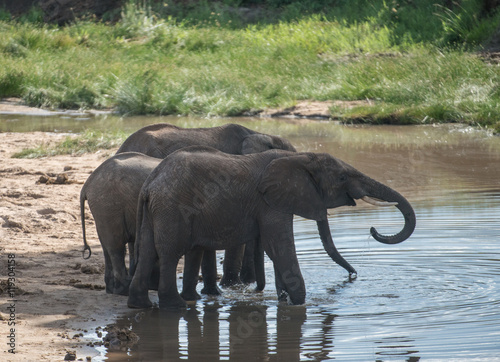 Zdjęcia Elephants at Watering Hole