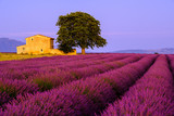Fototapety Lavender field at sunset in Provence, France