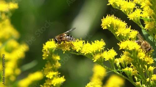Zdjęcia na płótnie, fototapety, obrazy : Bee on yellow Flower in the nature