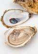 Close up of shucked oysters on white background. Oysters from New Brunswick, Canada.
