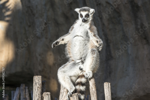 Poster The ring-tailed lemur (catta). Madagascar.