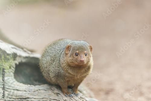 Poster Herpeste (mongoose family)