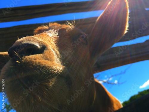 Poster chèvre