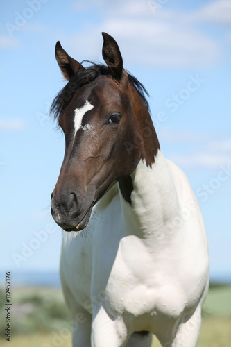 Poster Portrait of nice paint horse in summer