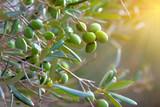 Olive tree - 119457574