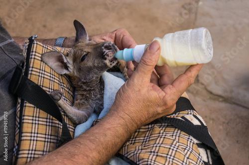 Aluminium Kangoeroe Caregiver bottle feeding young kangaroo, Coober pedy, Australia