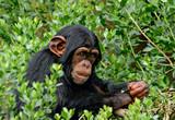 Chimp - 119468974