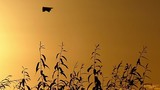 a Kite Hovers in the Sky at Sunset in Slow Motion