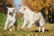 two happy golden retriever dogs playing outdoors in autumn with fallen leaves