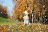 happy golden retriever dog sitting outdoors in autumn while leaves are falling