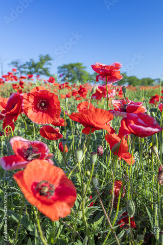 red poppies under blue sky in summer day