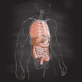 internal organs system