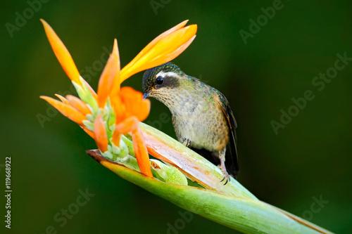 Hummingbird pije nektar od pomarańczowego i żółtego kwiatu. Hummingbird ssie nektar. Karmienie sceny z kolibra. Hummingbird od Ekwador zwrotnika lasu. Egzotyczny ptak z kwiatem w lesie.