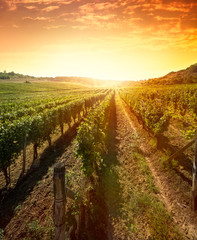 Rows of vines on sunrise