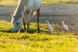 White camargue horse and two cattle erget by the lagoon