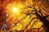 Fototapety Majestätische Buche im Herbst: der Baum wird von der Sonne warm durchleuchtet