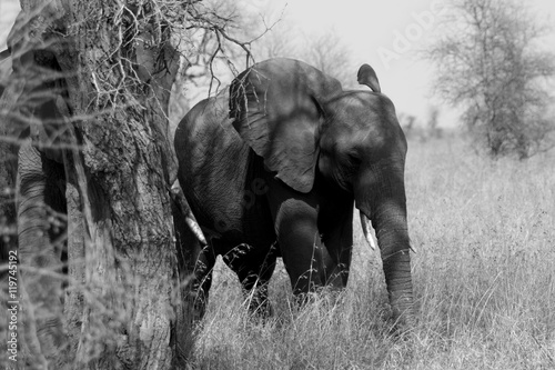 Zdjęcia Baby elephant coming to see who's looking