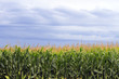 Corn fields with cloudy sky in the background