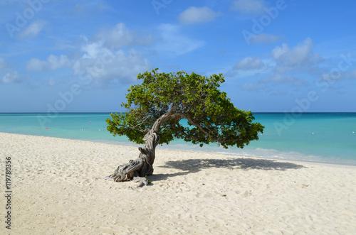 Pristine Divi Divi Tree in Aruba Poster