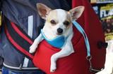 """""""Маленькая собака в красной сумке""""!"""