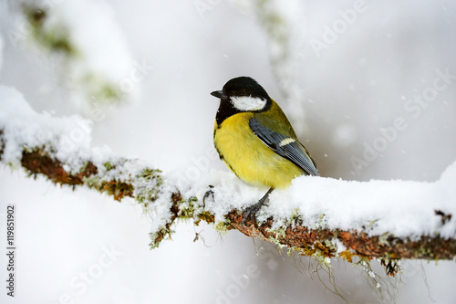 Poster Great tit in winter