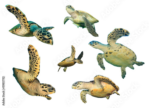 Aluminium Schildpad Turtle. Sea Turtles isolated. Hawksbill and Green Turtles on white background