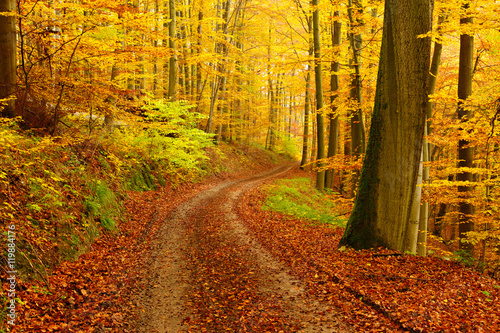 Fototapety, obrazy : Winding Dirt Road through Forest of Beech Trees in Autumn, Leaves Changing Colour