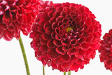 Red dahlias closeup