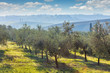 Autumn harvest landscape of Olive trees plantation