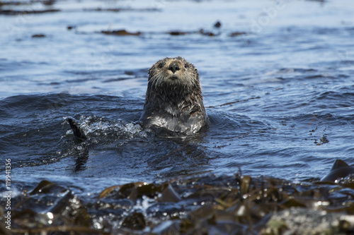 sea otters floating among the seaweed sunny day Canvas Print